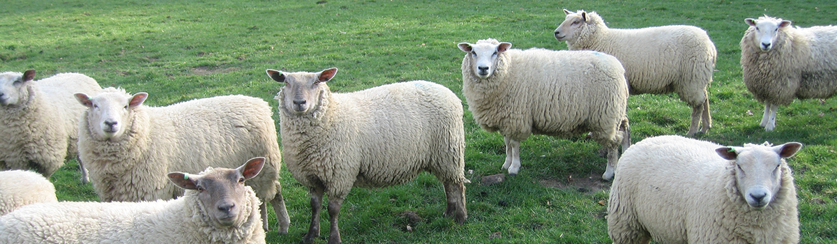 the wool story